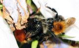 Bombus-hypnorum_copulating-pair.jpg