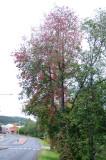 Prunus-padus.jpg