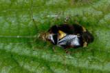 Liocoris-tripustulatus.jpg