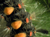 Orgya-hairs.jpg