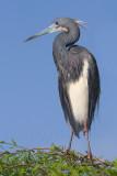 40d-6026c - Tricolor Heron