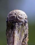 12555  - Wood Stork