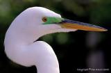 23131 = Great Egret