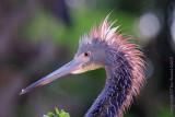 34651  - Tricolor Heron