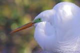 03571C - Great Egret