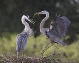 43629 - Great Blue Herons - nest building
