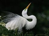 40476 - Great Egret displaying