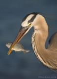 41068 - Great Blue Heron