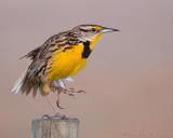 40d-2370 - Meadowlark
