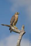 42264c - Red Shoulder Hawk