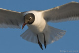 41085c - Laughing Gull hovering