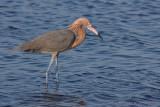 43976c - Reddish Egret