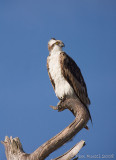 44095E -   Osprey