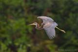 42496c - Tricolor Heron in the rain