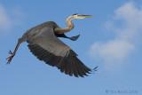 42673c - Great Blue Heron in Flight