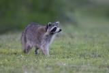 42843c - Raccoon