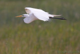 43297 - Great Egret