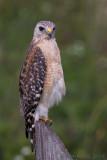 42157 - Red Shoulder Hawk