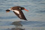 41257c - Oyster Catcher in flight