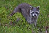 41492c - Raccoon