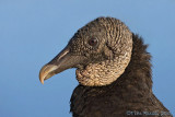 42043 - Black Vulture