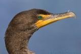 42198 - Cormorant headshot