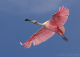 47219c  -  Roseatte Spoonbill in flight