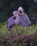42552c - Great Blue Heron pair