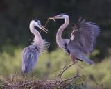 43629E2 - Great Blue Heron nesting pair