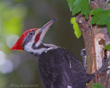 22849Rc  - Pileated Woodpecker