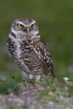 43114  -  Burrowing Owl