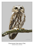 Northern Saw-whet Owl-025