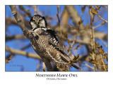 Northern Hawk-Owl-030