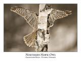 Northern Hawk-Owl-040