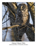 Great Gray Owl-011