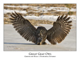 Great Gray Owl-020