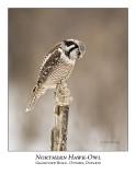 Northern Hawk-Owl-043