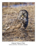 Great Gray Owl-033