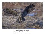 Great Gray Owl-044