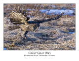 Great Gray Owl-048