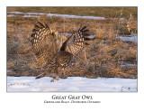 Great Gray Owl-056