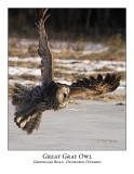 Great Gray Owl-058