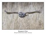 Barred Owl-010
