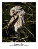 Barred Owl-011