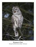 Barred Owl-013
