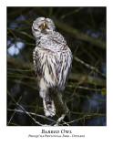 Barred Owl-014