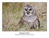 Barred Owl-015