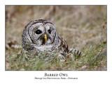 Barred Owl-016