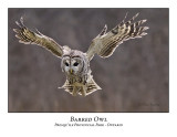 Barred Owl-017