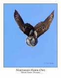 Northern Hawk-Owl-047